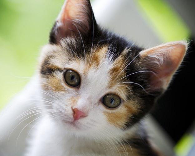 клички кішок дівчаток британок
