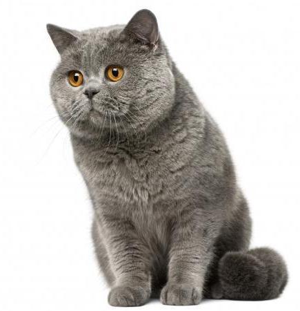 клички для висловухих кішок